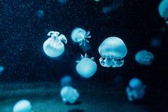 De transparante kwallen zwemmen op zoek naar avontuur royalty-vrije stock afbeeldingen