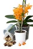 De transplantatie van de orchidee royalty-vrije stock fotografie