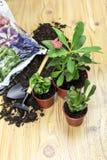 De transplantera inomhus växterna royaltyfria foton