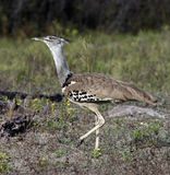 De Trap van Kori (kori Ardeotis) - Namibië Royalty-vrije Stock Foto's