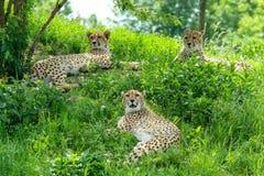 De tre sömniga geparderna i gräset arkivbilder