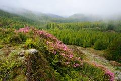 De trekkingsweg van de Azoren Monte Escuro met bloemen op bergrotsen Stock Afbeelding