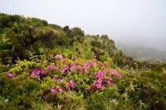 De trekkingsweg van de Azoren Monte Escuro met bloemen op bergrotsen Royalty-vrije Stock Foto's