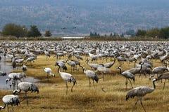 De trekvogels in een nationaal vogelreservaat Hula wordt gevestigd in noordelijk Israël Stock Foto's