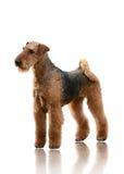 De tribune van Airedale Terrier op witte achtergrond wordt geïsoleerd die Royalty-vrije Stock Foto