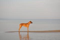 De tribune van de Rhodesian ridgeback hond Stock Afbeelding