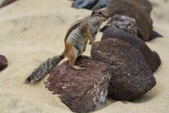 De tribunes van de atlaseekhoorn op een lavasteen op het strand royalty-vrije stock foto