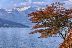 De tribunes van de esdoornboom uit onder de sneeuwpieken Royalty-vrije Stock Foto