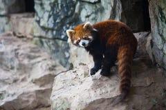 De tribunes van de wasbeer op de rots Stock Foto