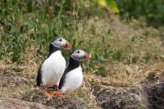 De tribunes van het papegaaiduikerpaar op grasrijke helling in wild IJsland Stock Foto