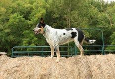 De tribunes van de landbouwbedrijfhond bovenop hooibaal Stock Foto's