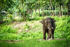 De tribunes van Lephant in het midden van het bos Stock Foto
