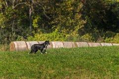 De Tribunes van de voorraadhond dichtbij In balen verpakt Hooi Royalty-vrije Stock Foto's