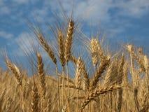 De trigo do campo do detalhe da exploração agrícola cena rural fora Imagem de Stock