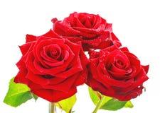 De trillende rode rozen sluiten omhoog Stock Foto's
