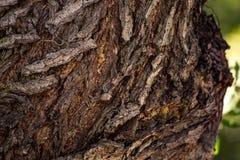 De trillende textuur van de boomschors Royalty-vrije Stock Afbeelding