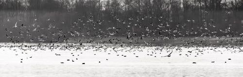 De Troep Grote troep van vogels, zeemeeuwen, boven een meer Royalty-vrije Stock Fotografie