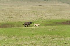 De Troep leeuwen Jacht van Buffels Stock Foto
