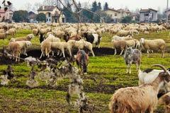 de troep in de vallei, de schapen en de geiten worden bewogen van één gebied aan een andere door afgevoerd land royalty-vrije stock fotografie