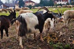 de troep in de vallei, de schapen en de geiten worden bewogen van één gebied aan een andere door afgevoerd land stock afbeelding