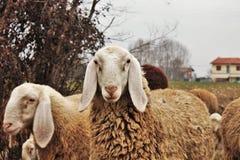 de troep in de vallei, de schapen en de geiten worden bewogen van één gebied aan een andere door afgevoerd land royalty-vrije stock foto's