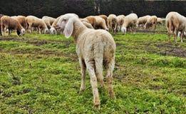 de troep in de vallei, de schapen en de geiten worden bewogen van één gebied aan een andere door afgevoerd land stock fotografie