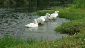 De troep van binnenlandse ganzen die, het schoonmaken bevedert dichtbij de bank van een rivier zwemmen stock videobeelden