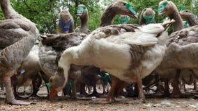 De troep van binnenlandse ganzen eet graan stock footage