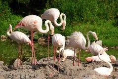 De troep van de flamingo royalty-vrije stock fotografie