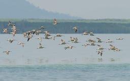 De troep van Europees-Aziatische Wulp migreerde van het het noordenland aan Libong-eiland Stock Foto