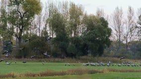 De troep van kraanvogels weidt en vliegend over een gebied bij Rhinluch-gebied in Brandenburg Duitsland stock video