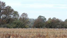 De troep van kraanvogels weidt en vliegend over een gebied bij Rhinluch-gebied in Brandenburg Duitsland stock footage