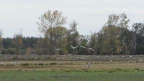 De troep van kraanvogels weidt en vliegend over een gebied bij Rhinluch-gebied in Brandenburg Duitsland stock videobeelden