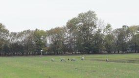 De troep van kraanvogels weidt op een gebied bij Rhinluch-gebied in Brandenburg Duitsland stock footage