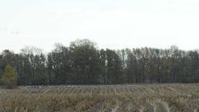 De troep van kraanvogels weidt op een gebied bij Rhinluch-gebied in Brandenburg Duitsland stock videobeelden