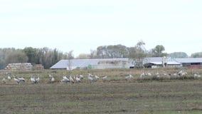 De troep van kraanvogels weidt op een gebied bij Rhinluch-gebied in Brandenburg Duitsland stock video