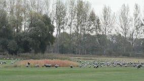 De troep van kraanvogels weidt op een weide bij Rhinluch-gebied in Brandenburg Duitsland De migratie van de de herfstvogel stock video