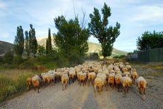 De troep van schapen Stock Afbeeldingen