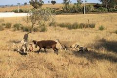 De troep van schapen Stock Foto