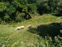De troep van schapen Stock Fotografie