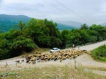 De troep van schapen komt naar huis terug, herders op de landelijke weg Royalty-vrije Stock Afbeeldingen