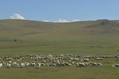 De Troep van schapen op de Weide van Hulun Buir Royalty-vrije Stock Foto's