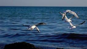 De troep van zeemeeuwen vliegt in de hemel, makend een groot bereik van hun vleugels Langzame Motie stock videobeelden