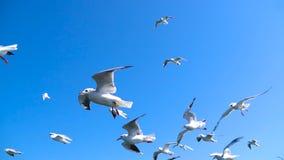 De troep van Zeemeeuwen vliegt tegen mooie hemel stock footage