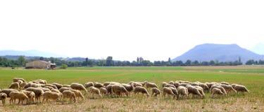 De troep weidende weide van schapen op grasgebied Stock Fotografie