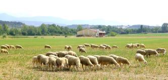 De troep weidende weide van schapen op grasgebied Stock Foto's