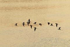 De troepen van de strandloper het vliegen royalty-vrije stock foto