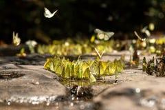 De troepen van vlinders leven in het bos, royalty-vrije stock afbeelding