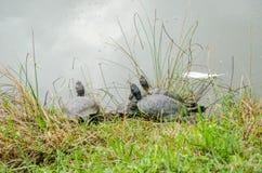 De troepschildpadden kropen zonnebaden in de zon op het groene gras dichtbij het meer in park bij Villa Pamphili in Rome, hoofdst Royalty-vrije Stock Afbeelding