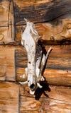De trofee van de jacht, de schedel van een everzwijn Stock Afbeelding